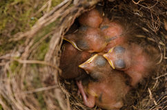 Throttle bird chicks in nest Royalty Free Stock Photo