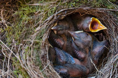 Throttle bird chicks in nest. Throttle bird chicks in the nest Stock Photo