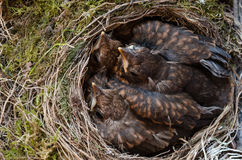 Throttle bird chicks in nest Royalty Free Stock Image