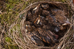 Throttle bird chicks in nest Stock Photo