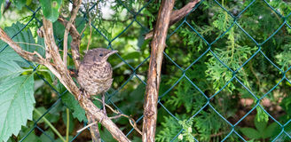 Throttle. Young thrush  on a branch Stock Image