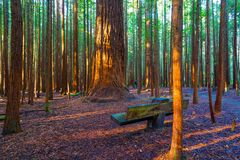 Redwoods Forest in Rotorua. Throughout the Redwoods forest there are plenty of places to stop and rest stock image