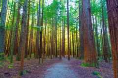 Redwoods Forest in Rotorua. Throughout the Redwoods forest there are plenty of places to stop and rest stock photo
