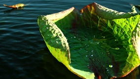 Throw Water Splash On Lotus (Nelumbo Nucifera) Twisted,Young Leave stock video footage