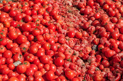 Throwed out tomatoes Stock Image