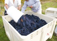 Throwing Grapes into the Tote. After picking the field in the bucket the pickers put the harvested grapes in a tote and then return to the fields to pick more Stock Images