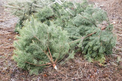 Thrown out Christmas trees Royalty Free Stock Photos