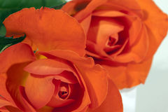 Thrre Colorful Red Roses on White Background Stock Photos