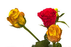 Thrre Colorful Red Roses on White Background Stock Image