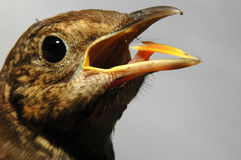Thrush. The young ouzel sings the first song Royalty Free Stock Photos