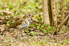 Thrush Stock Photo