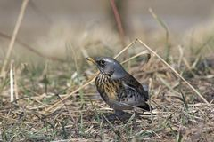 Thrush. In hunting for food Royalty Free Stock Images