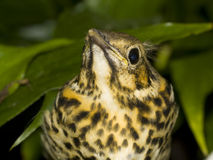 Thrush Stock Photography