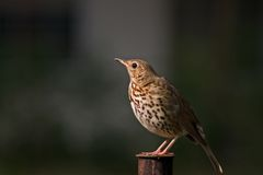 Thrush Stock Image