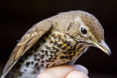 The thrush. A thrush bird standing on a man's hand Stock Photos