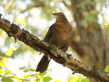 Thrush bird Royalty Free Stock Images