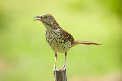 Thrush bird calling to her mate Royalty Free Stock Image