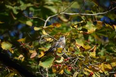 Thrush bird is feeding berries in autumn time. royalty free stock photo