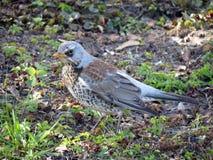 Thrush bird Stock Image