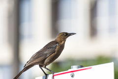 Thrush bird perching on a road sign Stock Images