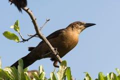 Thrush bird perching on a twig Royalty Free Stock Photos