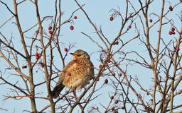 Thrush bird on tree branch Royalty Free Stock Images