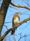 Thrush bird Stock Images