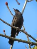 Thrush bird Stock Photo