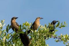 Thrush birds and crow Royalty Free Stock Photos
