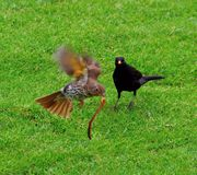 Thrush and blackbird Royalty Free Stock Image