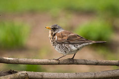 Thrush on branch Royalty Free Stock Image