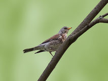 Thrush on branch of tree Royalty Free Stock Photo