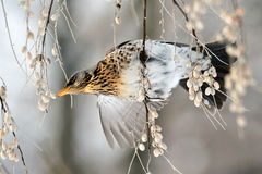 Thrush on branch (Turdus Obscurus) Stock Images