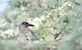 Thrush on branch  (Turdus Obscurus) Stock Photography