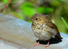 Thrush on bridge railing  Royalty Free Stock Photo