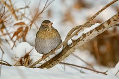 Thrush on the Brunch. Song Thrush Turdus Philomelos Perching on a Brunch royalty free stock photos