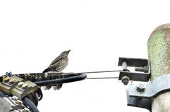 Thrush on cable wire Stock Image