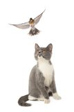 Thrush and cat Stock Photos