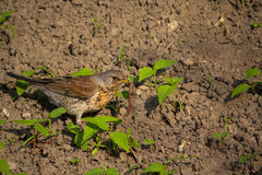 Thrush catch the worm sits on the ground. Birds Stock Images