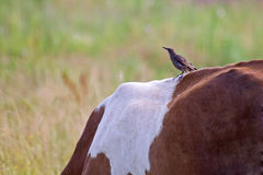 Thrush catching midges on the back of the cow Stock Image