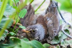 Thrush is caught in protective mesh. Bird thrush stealing strawberries is caught in protective mesh, close-up Stock Image