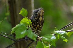 Thrush chick fell out of nest in the forest. Thrush chick fell out of the nest in the forest Royalty Free Stock Image