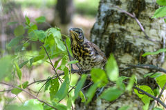 Thrush chick fell out of nest in the forest Royalty Free Stock Images