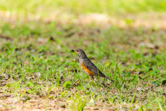 Thrush Royalty Free Stock Photo