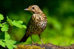 Thrush Stock Images