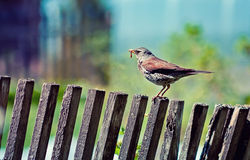 Thrush with earthworm  on the fence Stock Images
