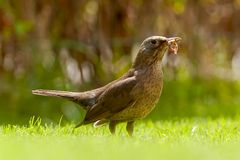 Thrush with earthworms. On the grass with blurred background Royalty Free Stock Images