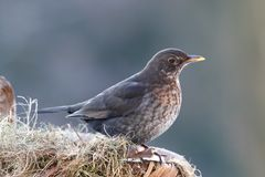 Thrush female on nestle Royalty Free Stock Images