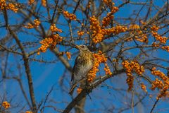 Thrush Fieldfare eating berries of sea-buckthorn Royalty Free Stock Photo