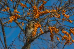 Thrush Fieldfare eating berries of sea-buckthorn Stock Images